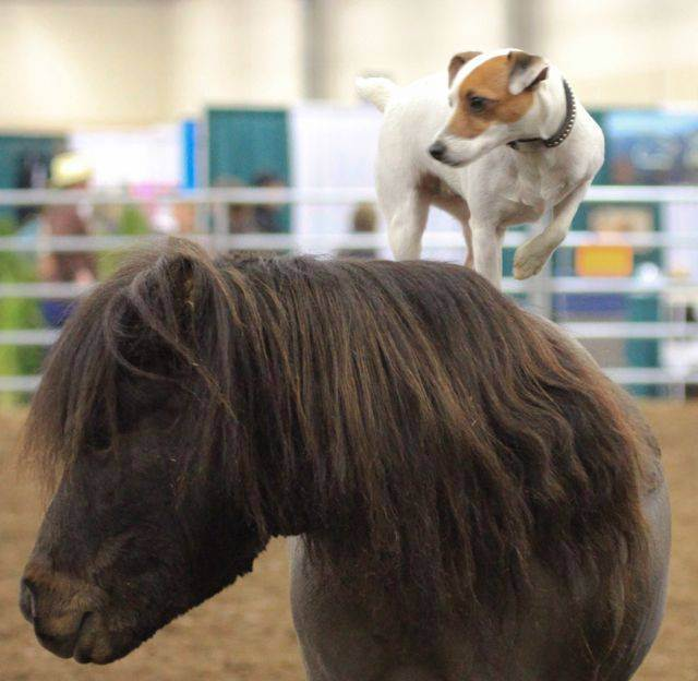 Give a dog a pony: Jack Russell enjoys rides on the back of miniature horse