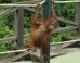 Baby Orangutan Peanut Is Too Scared To Climb, In Our Exclusive Clip From 'Meet The Orangutans' (VIDEO)