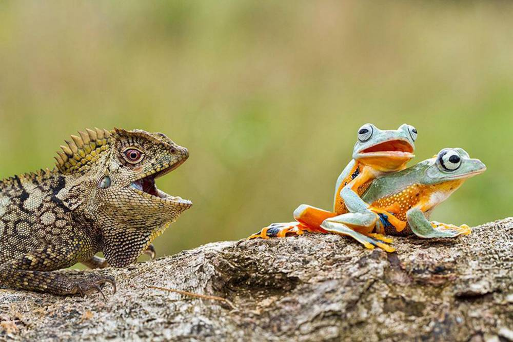 Lizard gets front-row seat to frog porn show