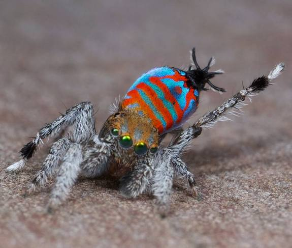 Sparklemuffin: The new type of spider that will cure arachnophobia