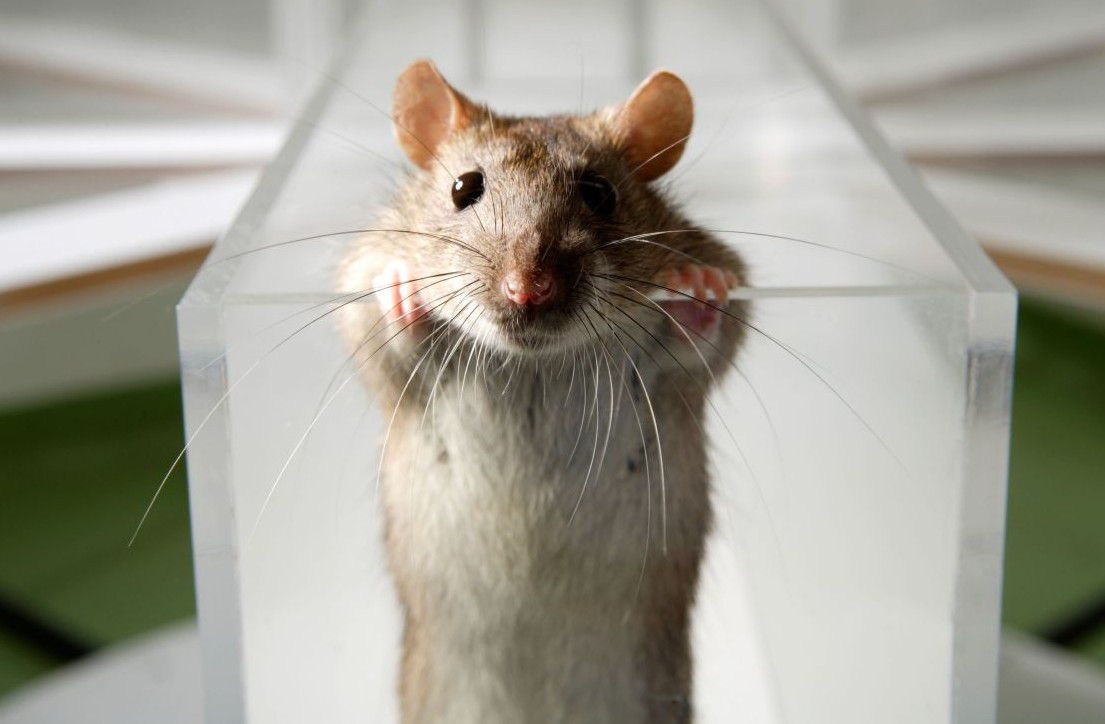 Scientists give rats instant erections with flip of switch