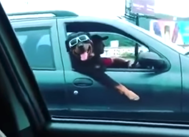 Dog chilling in a car wearing sunglasses – like a boss