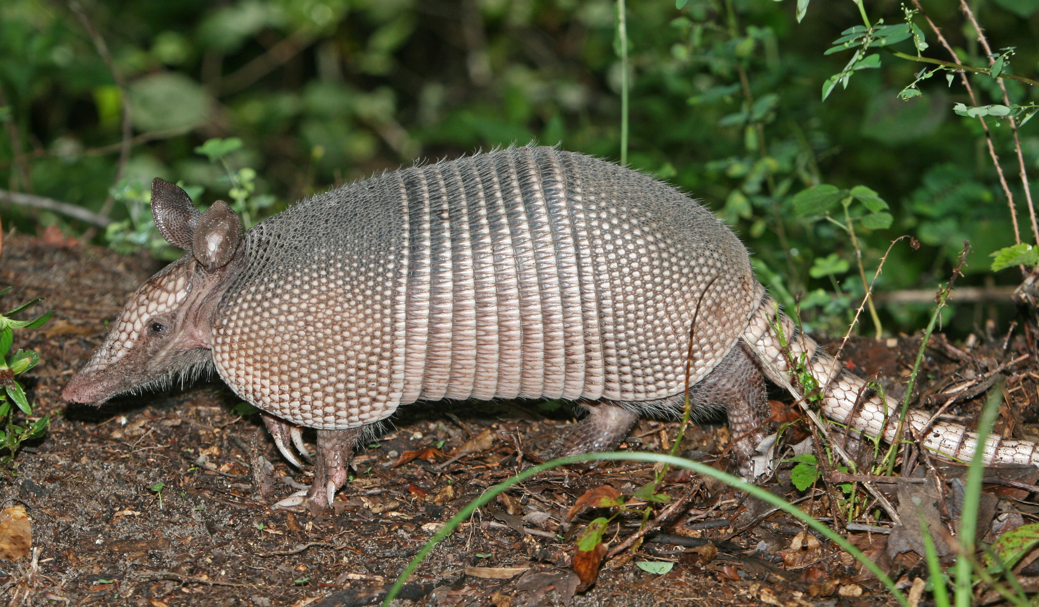 Man accidentally shoots mother-in-law after bullet bounces off armadillo