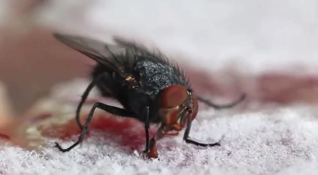 Fly gets its comeuppance as it lands on frozen steak and gets tongue stuck