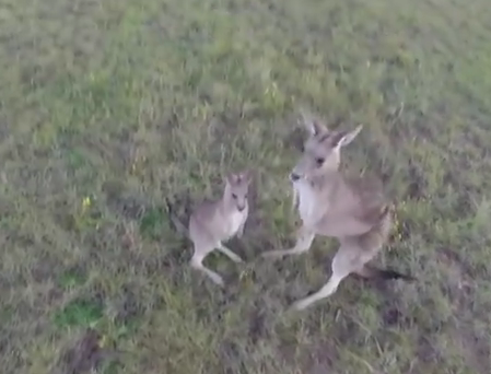 Drone vs kangeroo – the drone does not win