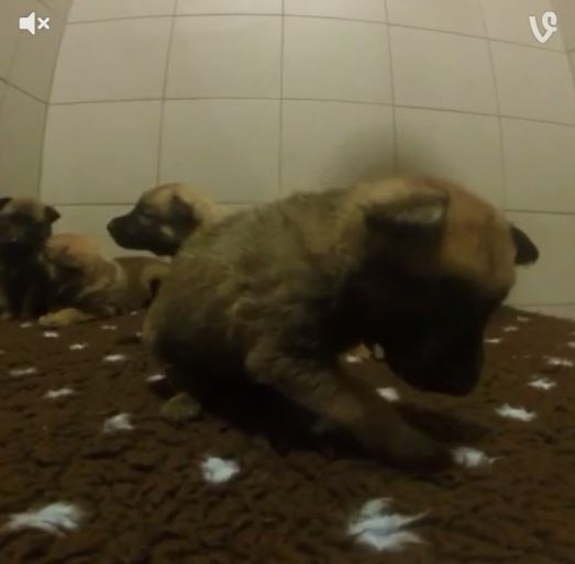 Police tweet vines of cute puppies that will grow up to be fearsome crime fighters