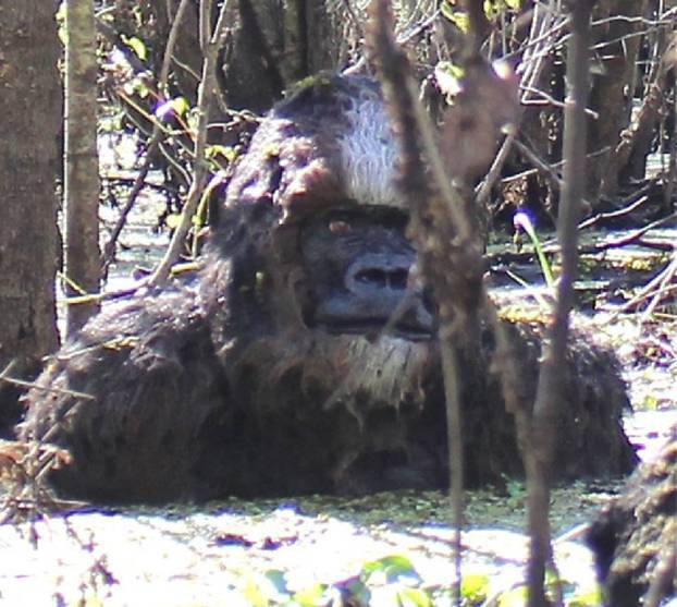 This is the clearest photo of 'Bigfoot' ever taken