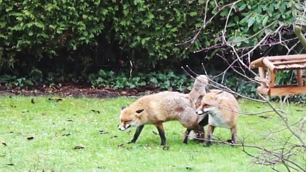 Man calls police over foxes having 'abnormally long sex' in his garden