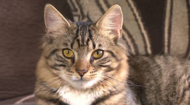 Hermaphroditic cat awaits a gender reassignment surgery to become a boy