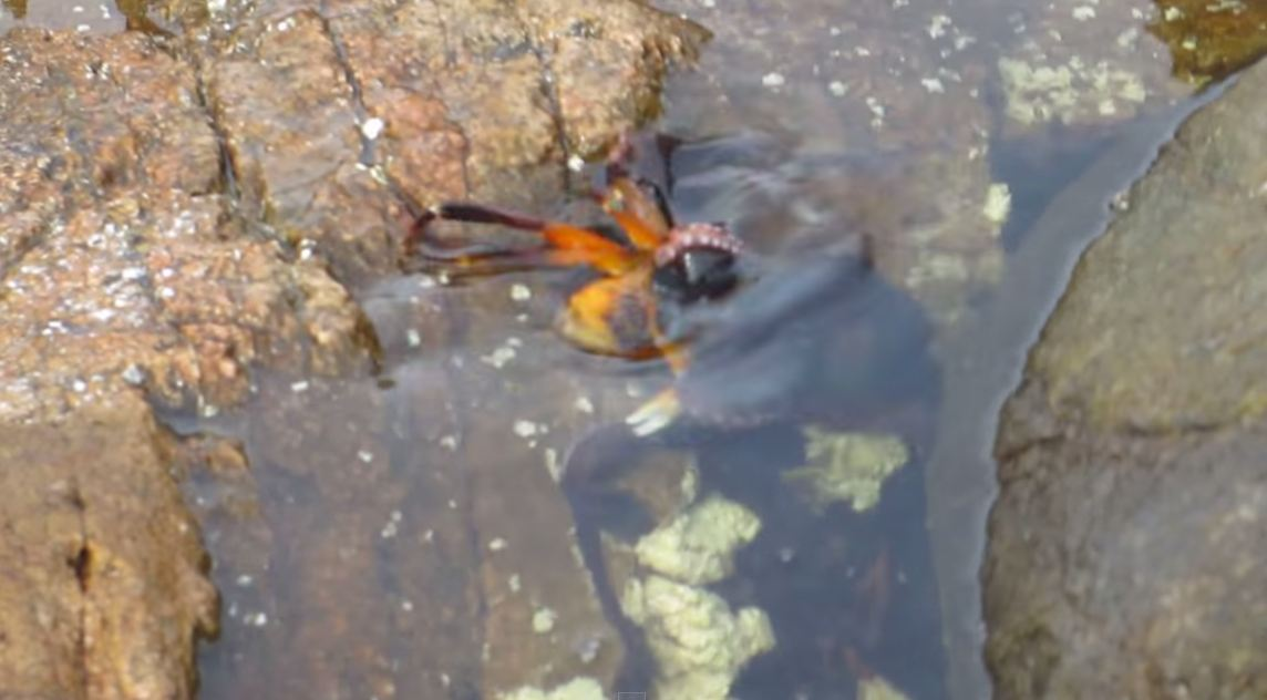Octopus eating a crab is the stuff of nightmares