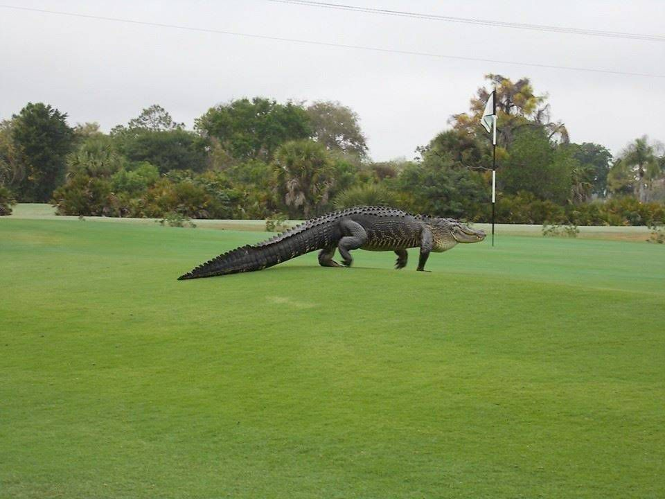 13ft alligator fails to stop golfers from enjoying a round