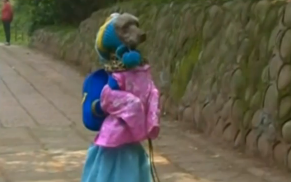 Poodle who walks on two legs in little girl's clothes and wearing backpack 'thinks he is a human', owners claim