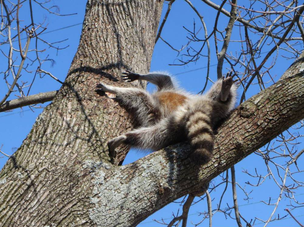 Nobody's perfect – even this raccoon managed to get his head stuck in a tree
