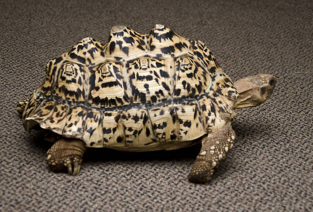 A tortoise has a brand new shell made from a 3D printer after her old one was damaged