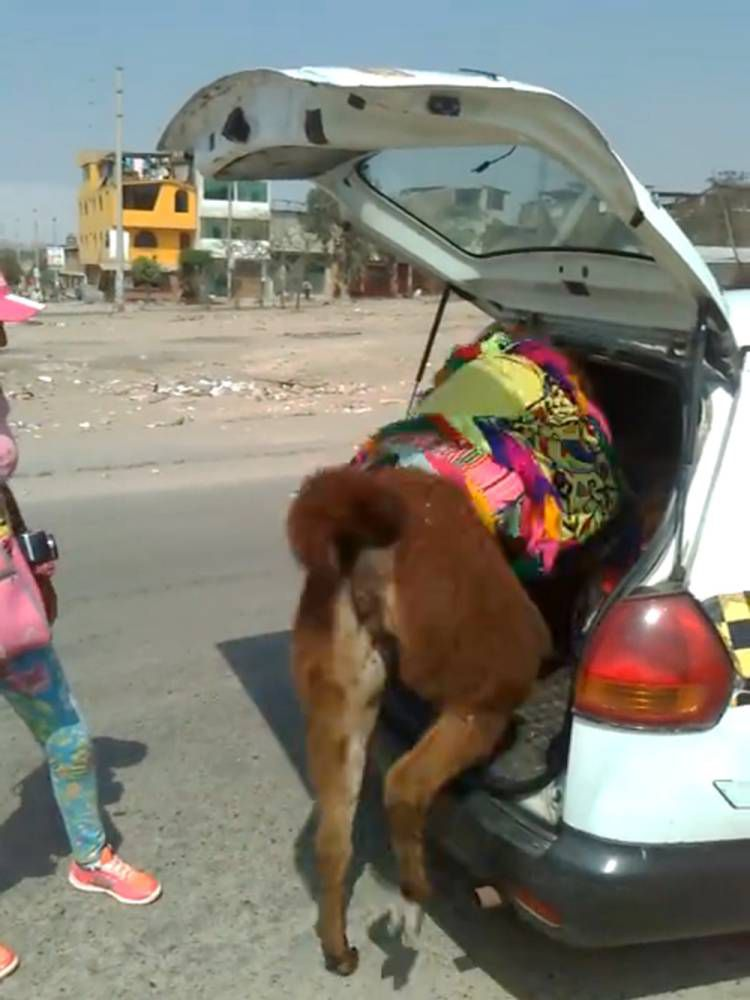 Controversy erupts after tired llamas get into taxi