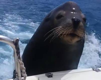 This seal managed to hitchhike on a speedboat