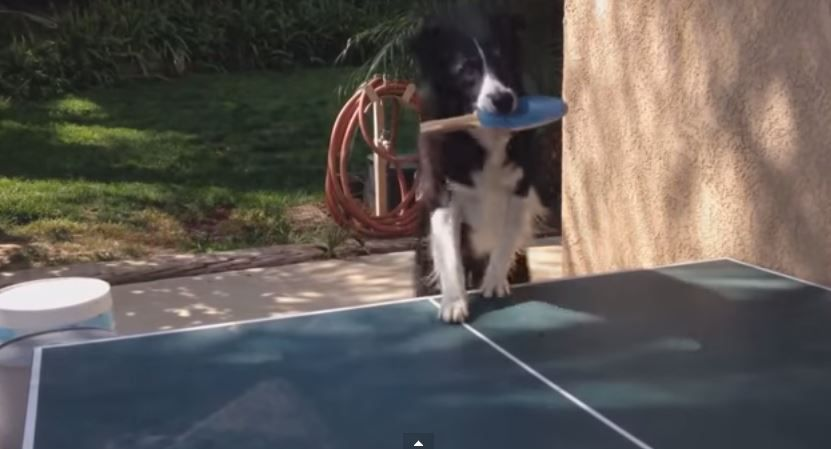 This table-tennis playing dog is giving Andy Murray a run for his money