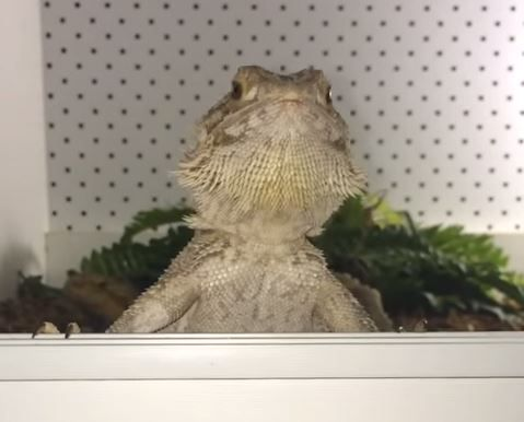 When this bearded dragon gets hungry she nods her head