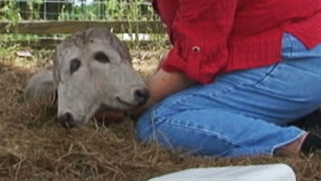 Calf born with two heads is 'one in 400 million'