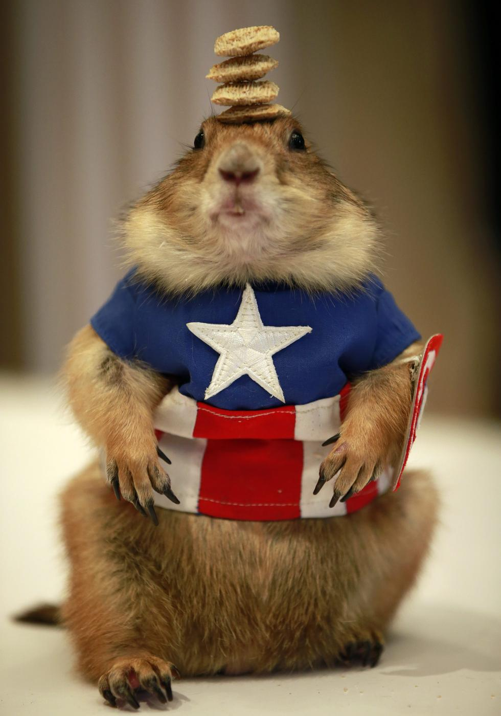 This prairie dog dressed as Captain America and balancing some food is 100 percent real