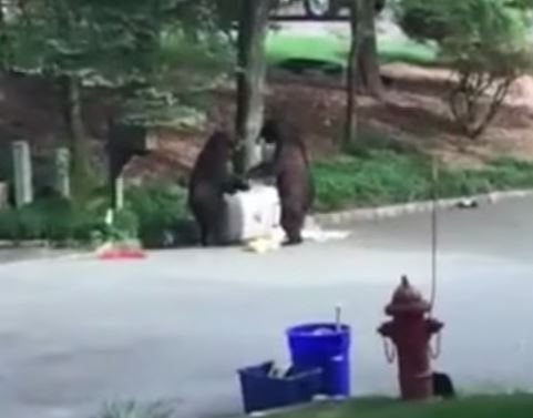 Grown bears fight over trash in video that gets quite messy