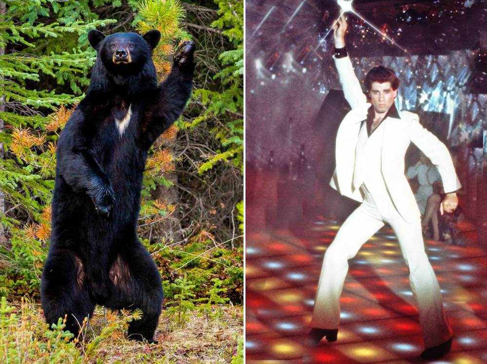 Is it just us, or does this bear really look like John Travolta in Saturday Night Fever?