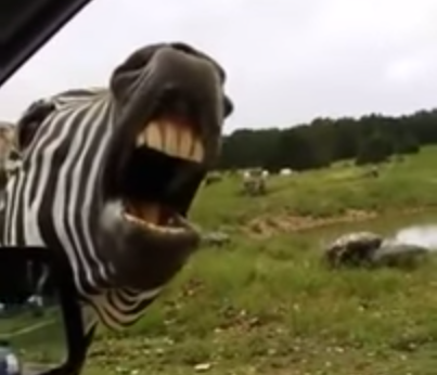 This zebra will sing for snacks
