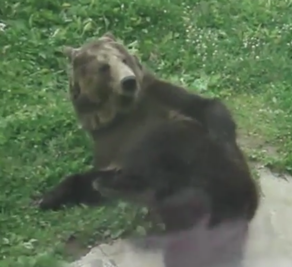Weird bear scratches his behind before dry humping the ground for some reason