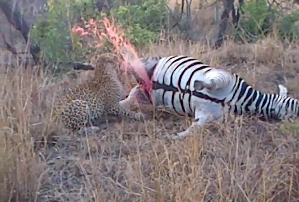 Dead zebra pranks from beyond the grave by squirting greedy leopard with urine