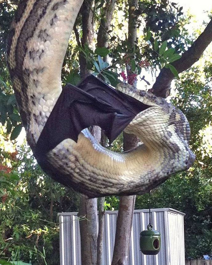 Video of huge python eating giant bat is both amazing and scary