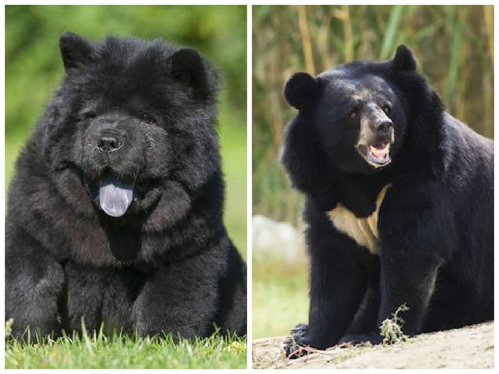 Man took two years to realise his 'dogs' were black bears