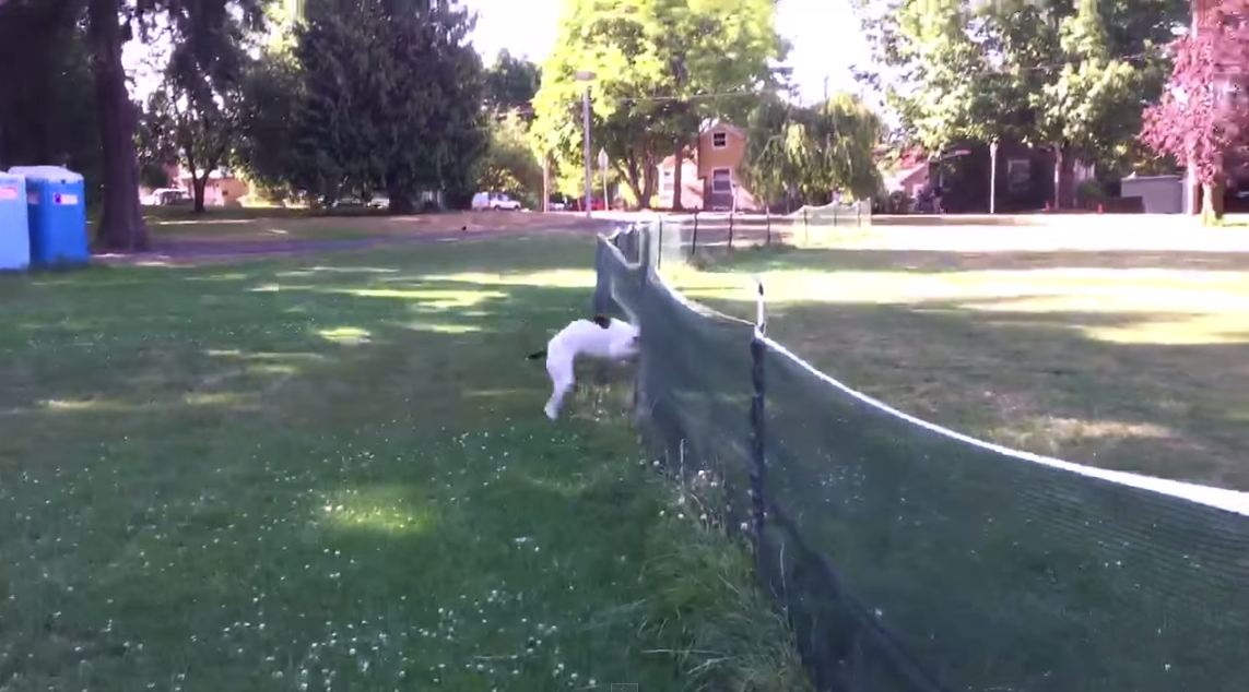 Dog front flips over fence in game of frisbee