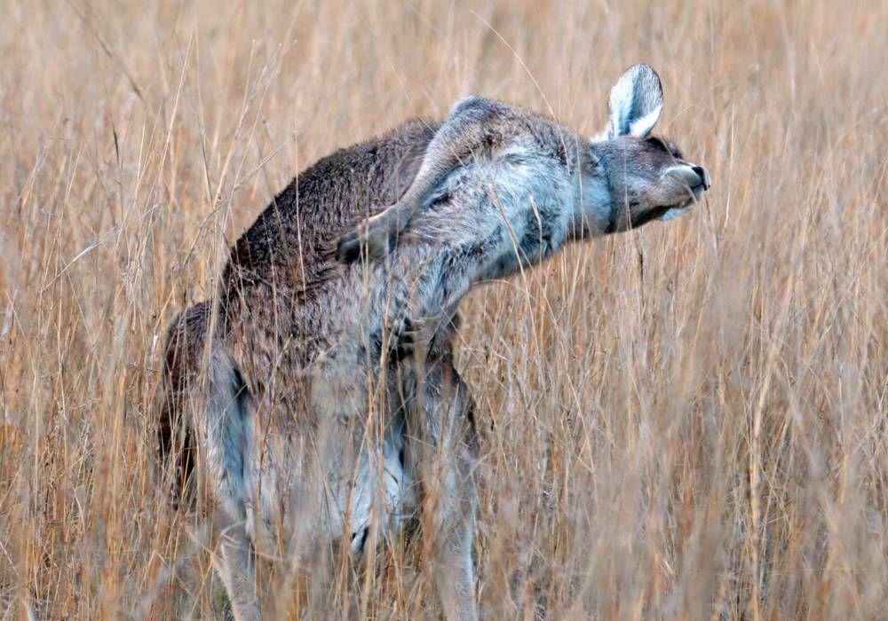 Kangaroo dances just like Bez from Happy Mondays