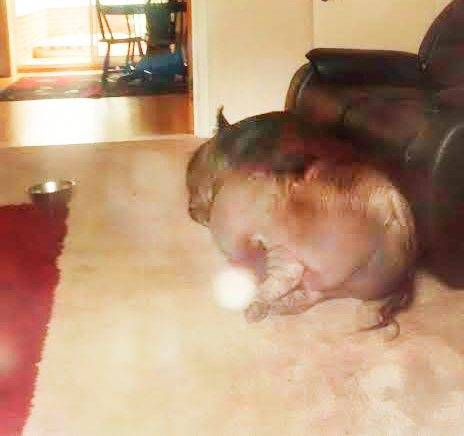 Landlord discovered tenants were keeping a 50-stone pig in the house