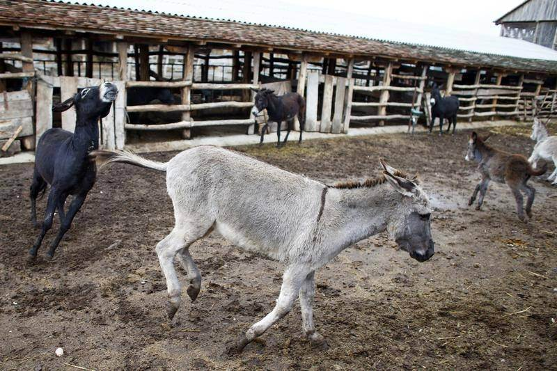 'Aggressive donkey' on the loose is finally caught