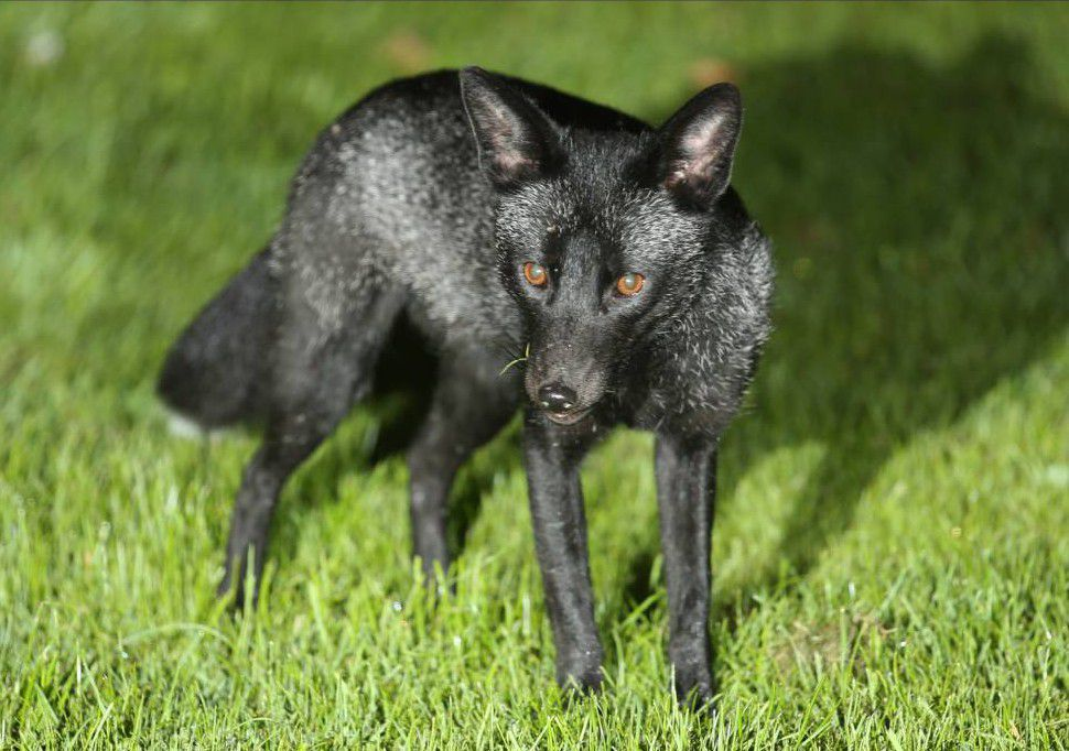 Someone just photographed this black fox (the rarest animal in Britain)