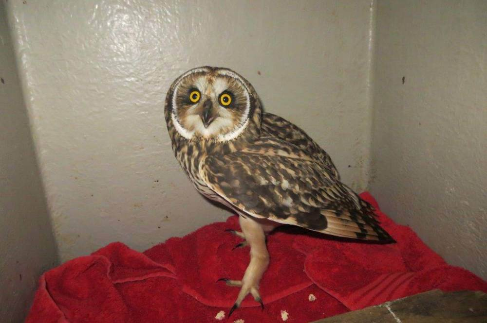 Dumb owl gets lift from helicopter after winding up 100 miles away on North Sea oil rig