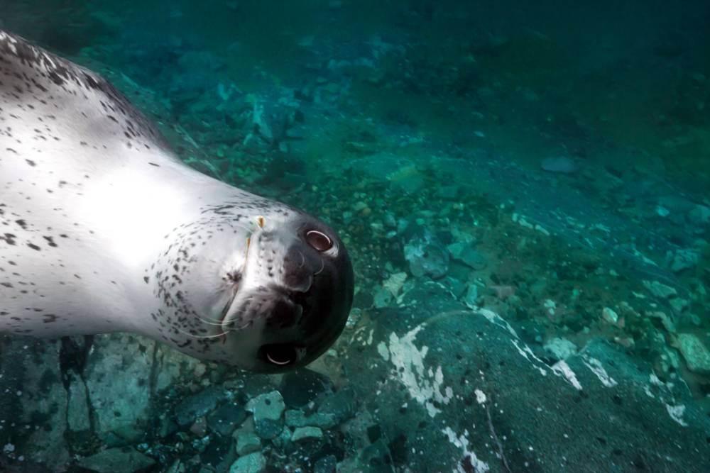 Goofy-looking leopard seal photobombs diver's pictures in Antarctica