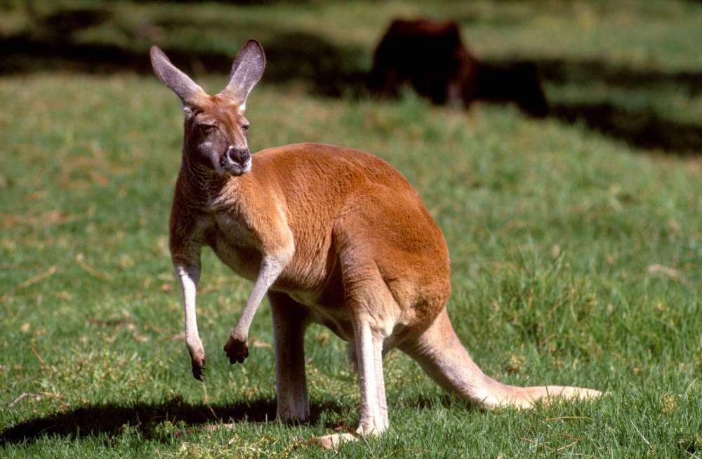 British teen 'plotted to pack kangaroo with bombs in terror attack'