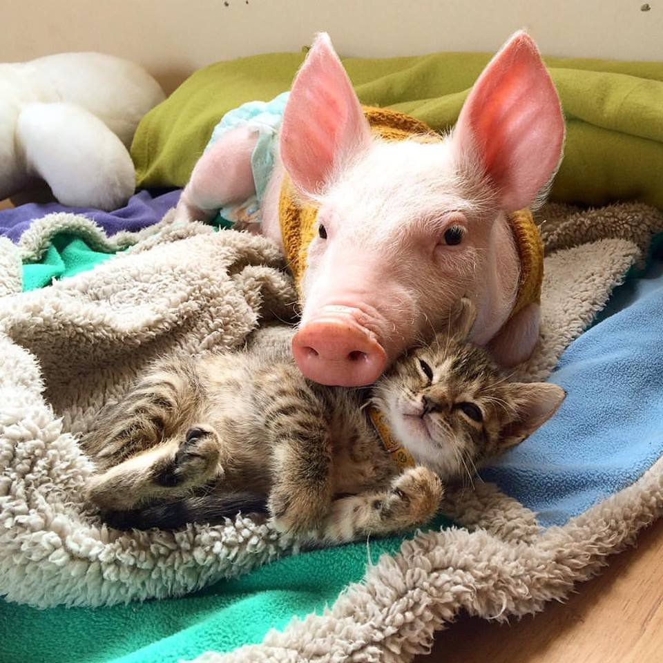 A piglet and a tiny kitten cuddle up, that is all