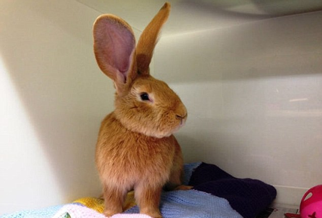 This MASSIVE rabbit needs a new home