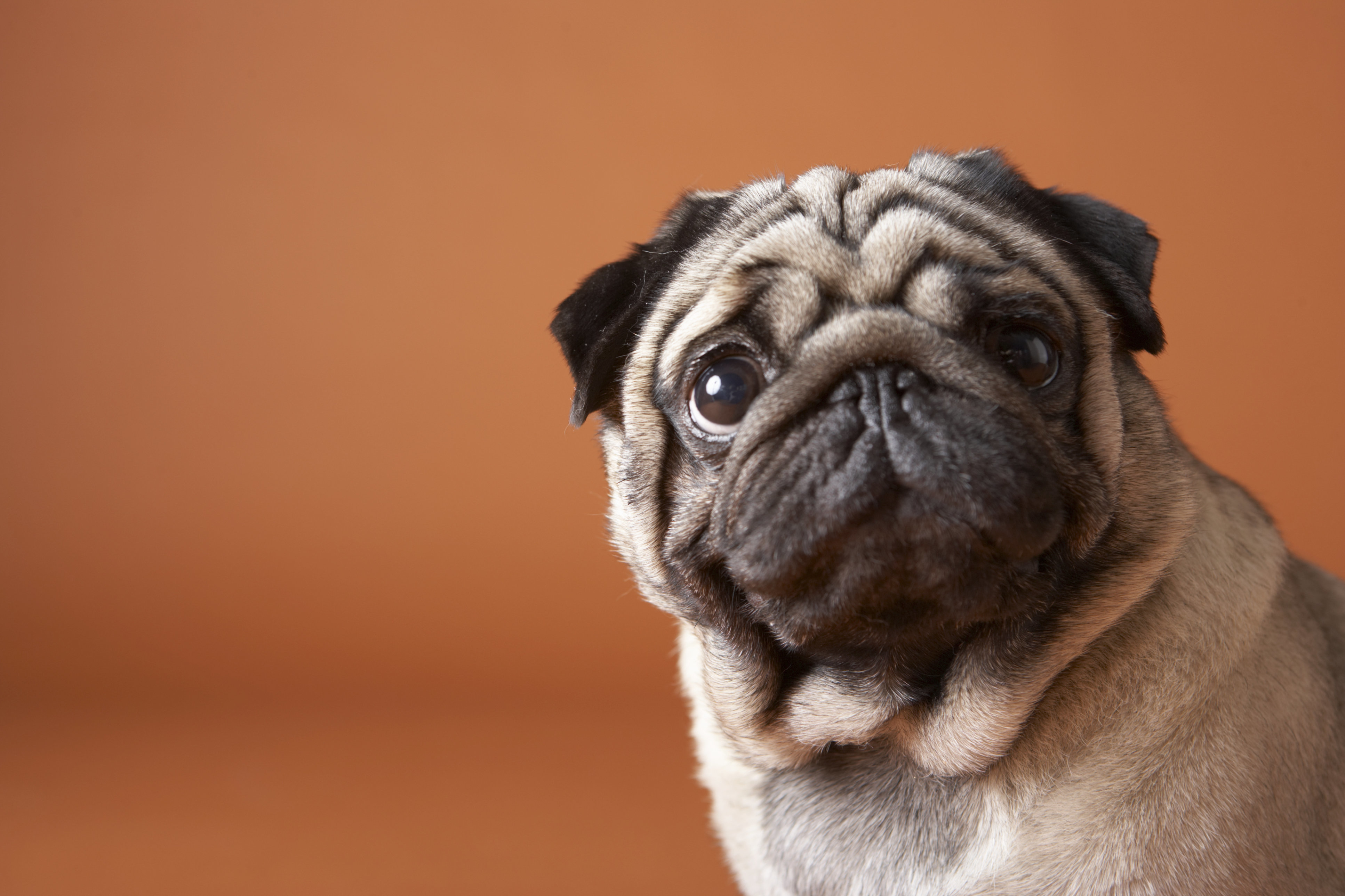 Almost One In Three Pugs Struggle To Walk Properly