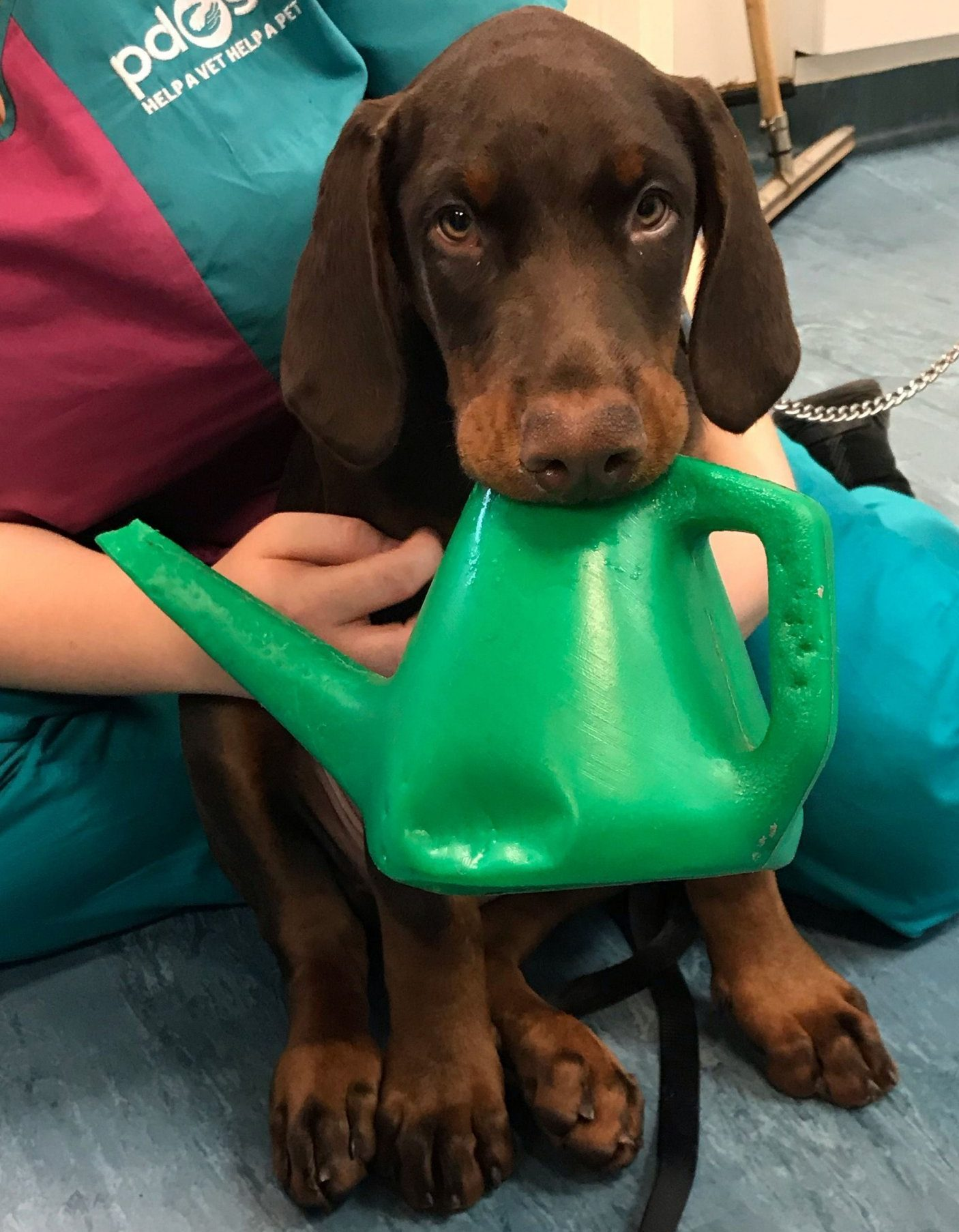 Poor puppy got stuck in watering can after watching owner tend to plants