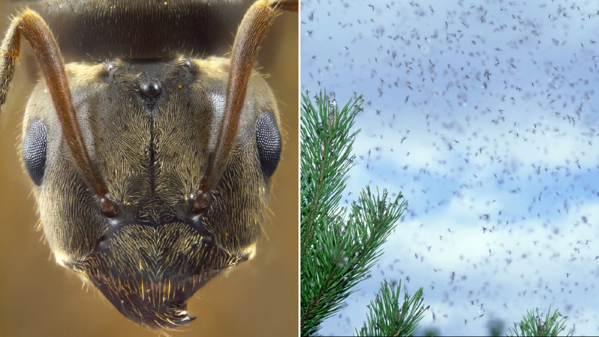 Flying Ant Day sees millions of insects invade the UK in breeding frenzy