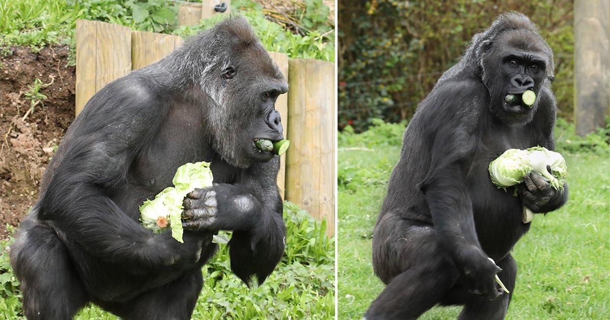 Even the UK's gorillas are stockpiling to get through the coronavirus crisis